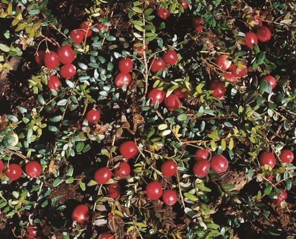 Reife Cranberries im Beet