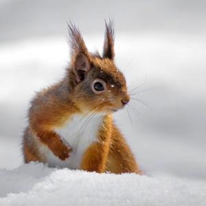Eichkater Eichhörnchen im Schnee