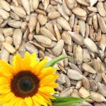 Sonnenblumenkerne und der Goldene Winkel